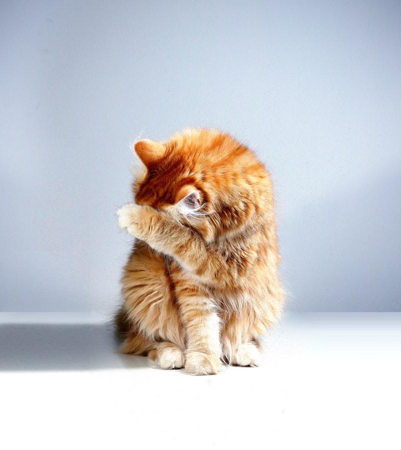 Bulu Si Meong Sering Rontok? Yuk Intip Penyebab Bulu Kucing Rontok Di Sini
