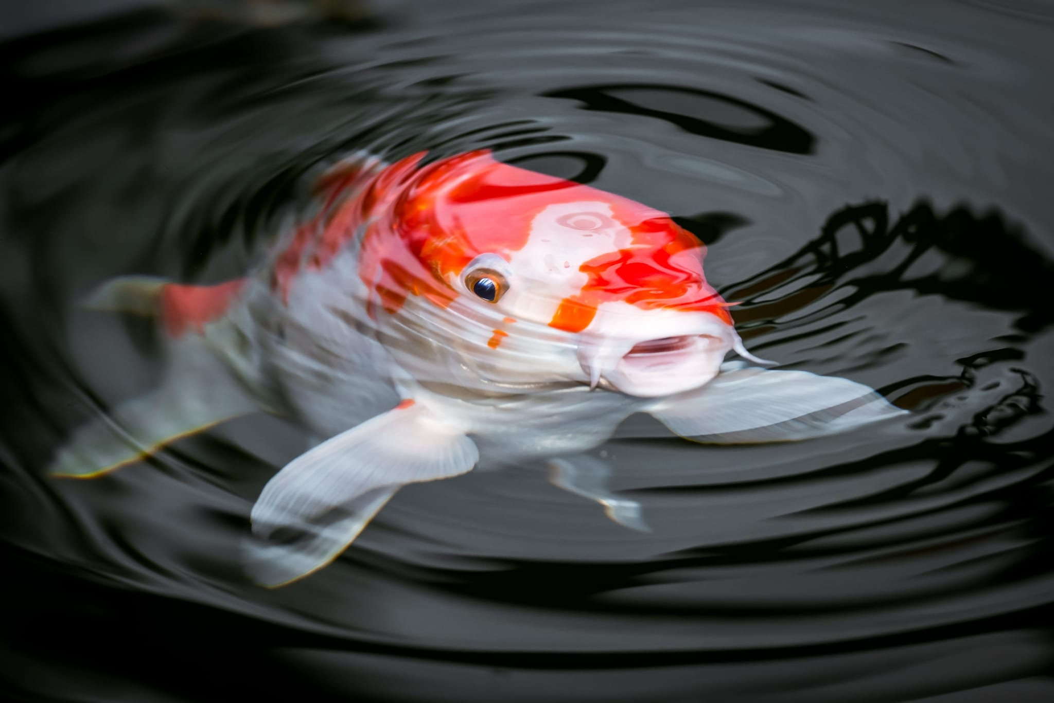 Koi Fish History Discussed and Meaning