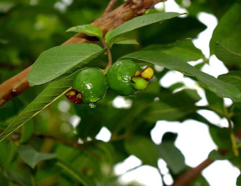 Ciri – Ciri Pohon Jambu Biji