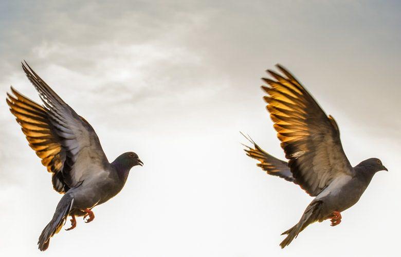 Kelebihan Suara Burung Beo Nias