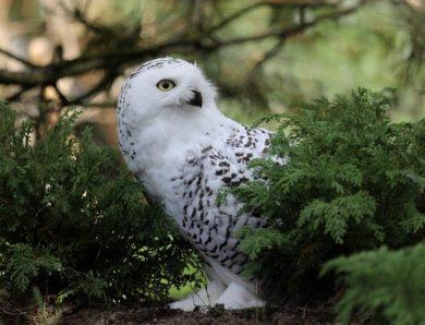 Burung Hantu Kecil