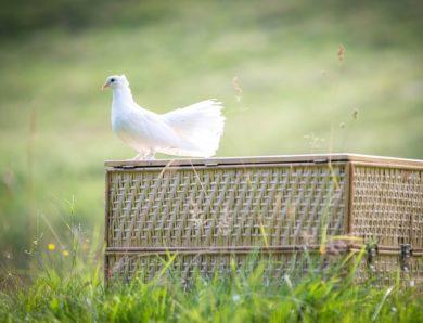 Klasifikasi Burung Merpati