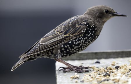 European Starling (Common Starling)