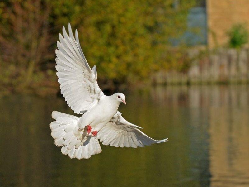Popular Pigeon Conditions